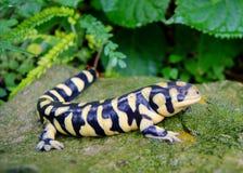 Salamander de tigre barrado, mavortium del Ambystoma fotos de archivo libres de regalías