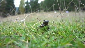 Salamander in de Wildernis stock videobeelden
