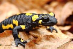 Salamander detail Stock Photo