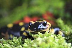 Salamander di fuoco fotografie stock