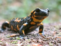 Salamander di fuoco da andare caccia Fotografia Stock