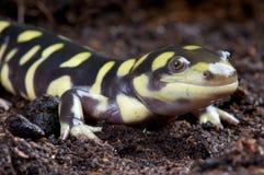 Salamander di tigre Immagine Stock Libera da Diritti