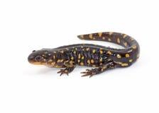 Salamander di tigre isolato Immagini Stock Libere da Diritti