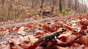 Salamander die op de vroege lente van de bladeren bruine verrotting in de bergbossen kruipen stock videobeelden