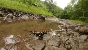 Salamander in een vulklei na een regen in een bergbos stock footage
