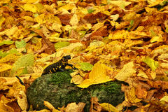Salamander in Fall. In Stara planina mountain in Bulgaria Stock Image