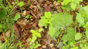 Salamander giftige hagedis op een groene blad hoogste mening stock video