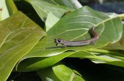 Salamander-Haltung Lizenzfreie Stockbilder