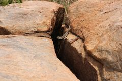 Salamander on his way. A salamander on the rocks to follow his way and looking for food Royalty Free Stock Photography