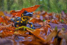 Salamander im Fall Stockfoto