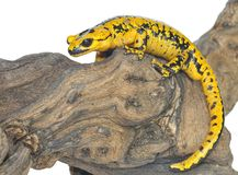 Salamander. A isolated salamander on a white background Stock Image