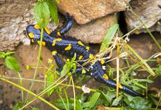 Salamander lizard in wild Stock Photo