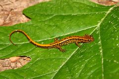 Salamander Long-tailed (longicauda de Eurycea) fotos de stock royalty free
