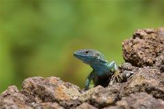 Salamander in Madeira stockbild