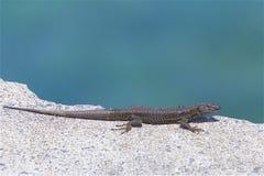Salamander in Madeira Royalty Free Stock Images