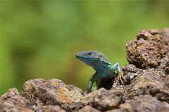Salamander in Madera stock afbeelding