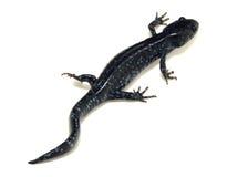 Salamander manchado azul (laterale del Ambystoma) Fotografía de archivo libre de regalías
