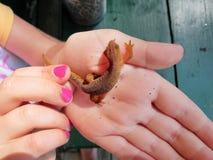 Salamander manchado rojo Imágenes de archivo libres de regalías