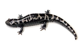 Salamander. Marbled Salamander (Ambystoma opacum) on a white background Stock Photo