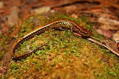 Salamander met lange staart (longicauda Eurycea) royalty-vrije stock afbeelding