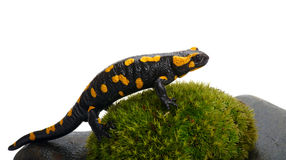 Salamander on a moss Stock Image