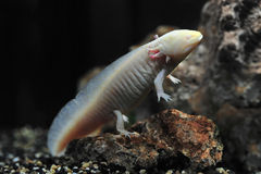 Salamander newt, amphibia Royalty Free Stock Photography