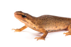 Salamander, or newt, on white backgroud Stock Photography