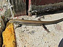 Salamander på betong Royaltyfria Foton