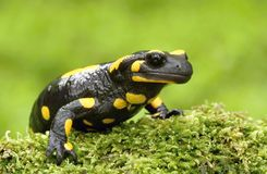 Salamander Portrait Stock Photo