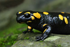 Salamander portrait Royalty Free Stock Photography
