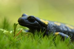 Salamander. Portrait of black and yellow salamander in the wild Royalty Free Stock Photo