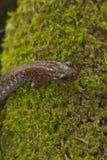 Salamander posteriore di colore rosso Immagine Stock