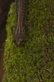 Salamander posteriore di colore rosso Fotografia Stock Libera da Diritti