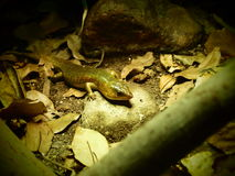 Salamander. A salamander is resting on its habitat Royalty Free Stock Photo