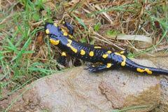 Salamander on the rocks Stock Images