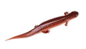 Salamander rojo Fotos de archivo