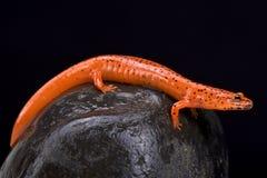 Salamander rojo (ruber de Pseudotriton) fotografía de archivo