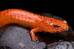 Salamander rojo (ruber de Pseudotriton) foto de archivo