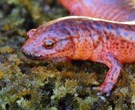 Salamander rosso fotografia stock