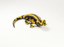 Salamander, Salamandra Royalty-vrije Stock Foto