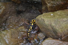 Salamander (Salamandra) Stock Afbeeldingen