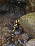 Salamander (Salamandra). Salamander in the clear mountin river - indicator of purity Stock Images