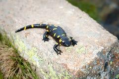 Salamander-schwarzes und gelbes Gasthaus auf dem Felsen im Fluss stockfotografie