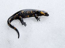 Salamander on the snow Stock Image