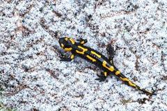 Salamander on snow Royalty Free Stock Photo