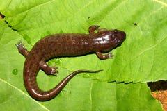 Salamander sombre (conanti de Desmognathus) photos libres de droits