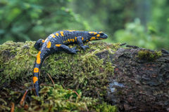 Salamander Royalty Free Stock Photo