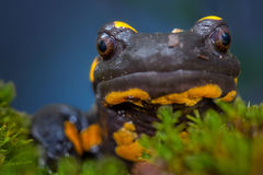Salamander Stock Photo