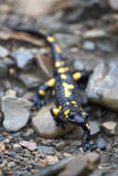 Salamander on the stones Stock Image