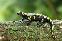 Salamander Royalty Free Stock Photos